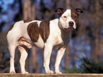 fotos staffordshire bull terrier macho 1