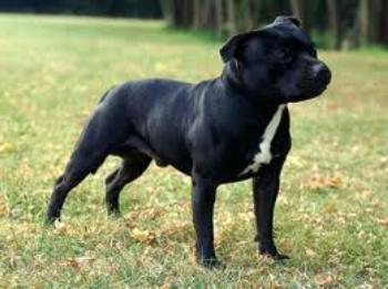 fotos staffordshire bull terrier macho