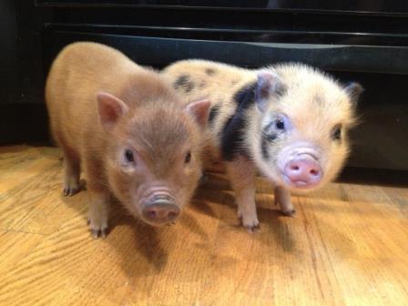 fotos de mini cerdos