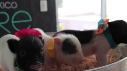 fotos de mini pigs
