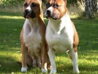Características de la raza American Pitbull Terrier