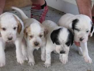 Criaderos de Cachorros de la Raza Setter Inglés