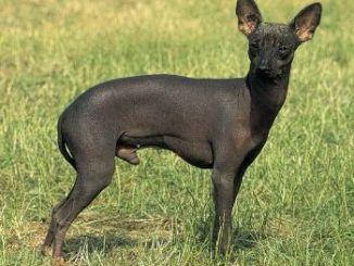 Raza de Perro sin Pelo del Perú