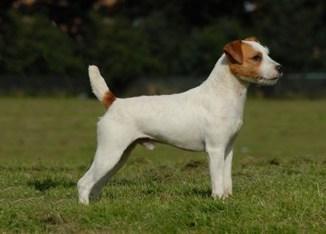 Información de la raza Jack Russell Terrier