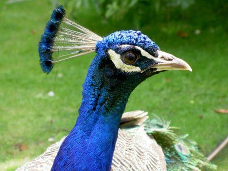 Foto del pavo real