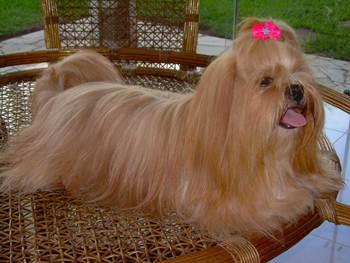 Orígen y comportamiento del perro Lhasa Apso