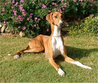 El perro Azawakh es muy parecido al Galgo Español
