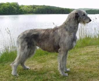 foto de Irish Wolfhound