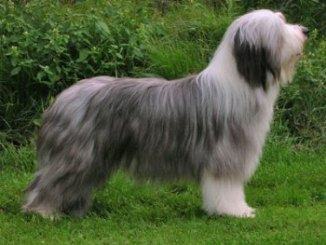 Comportamiento de la Raza Bearded Collie
