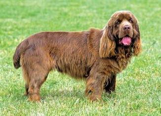 Raza Sussex Spaniel