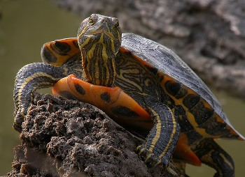 Tortugas de Florida