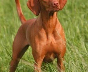 Braco Húngaro Vizsla Raza de Perros rastreadores