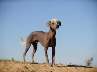 Foto de El perro peruano,uno de los mayores atractivos de aquel pais