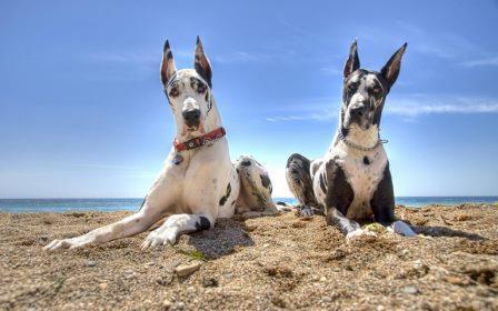 Foto de Te mostramos tres (3) razas de perros gigantes