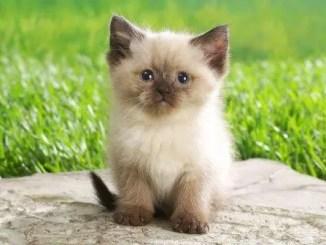 Las razas de gatos mas conocidas del mundo
