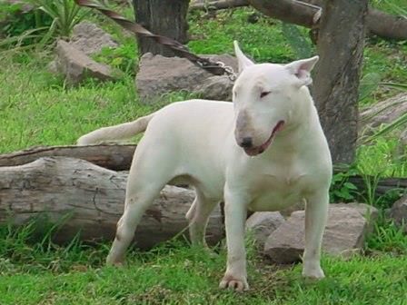 Fotos de bull terrier