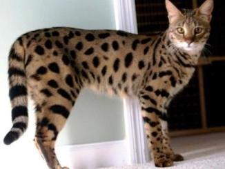 Cuál es la raza de gato más costosa del mundo