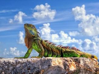La iguana como mascota cómo escoger y cuidar tu iguana