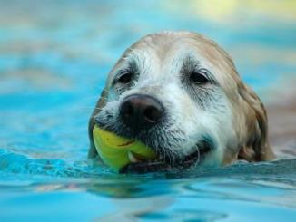 Qué características debe tener un perro para ser buen nadador