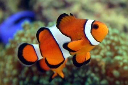 Foto del pez payaso