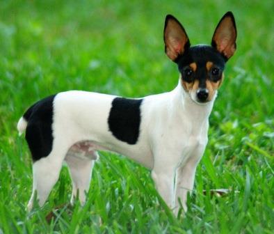Foto de Fox Terrier chileno