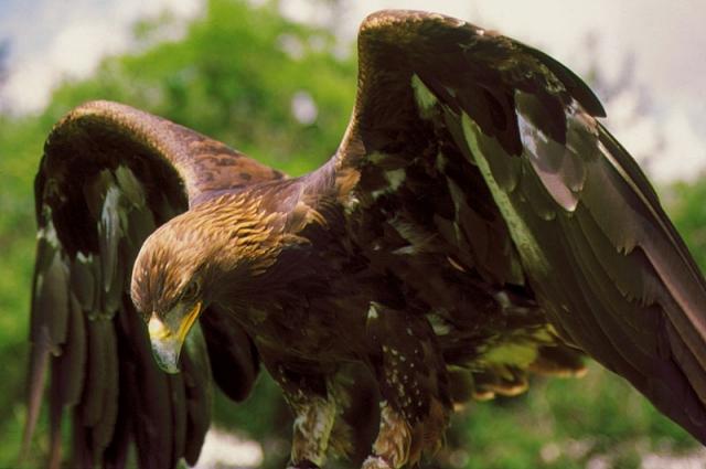 Águila Real, se dedica a la caza