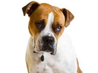Hernias caninas tipos sintomatología y posibles tratamientos