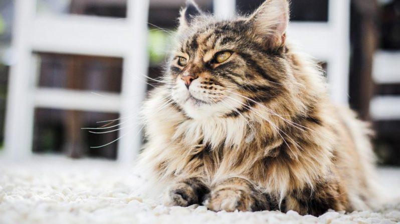 3. El gato persa