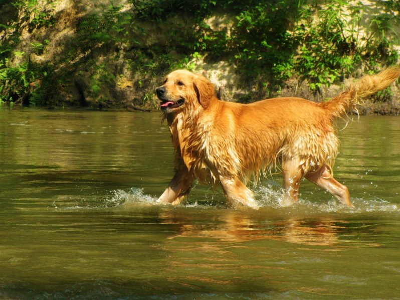 #3. Golden Retriever