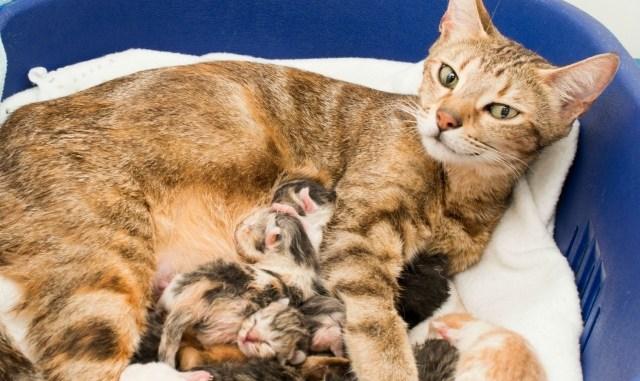 Como ayudar a una gata en el parto felino