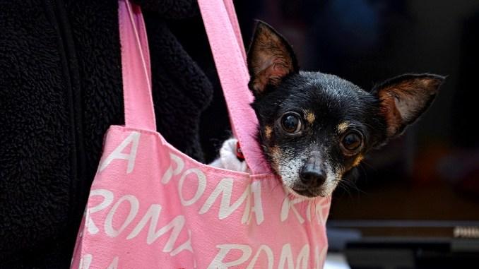 Todo lo sobre los Chihuahuas