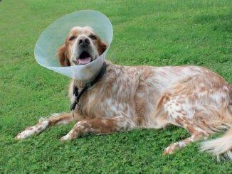5 pasos para curar la herida de tu perro