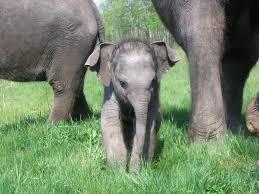 Curiosidades sobre los elefantes