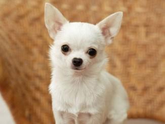 ¿ Cuál es el perro miniatura más buscado ?