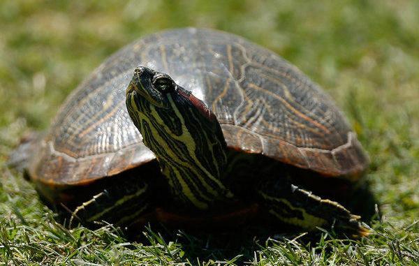 Que come una tortuga de tierra