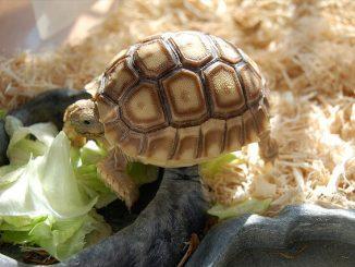 Cómo calcular la edad de una tortuga