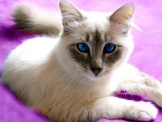El Gato Javanés