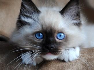 listado de razas de gatos en el mundo