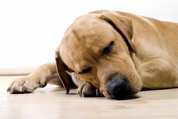 Cuáles son síntomas de deshidratación en los perros