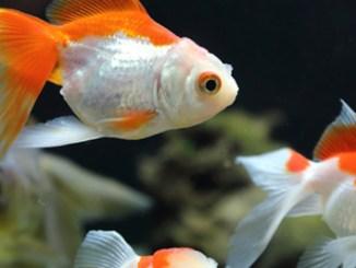 Porque mueren los peces de acuario
