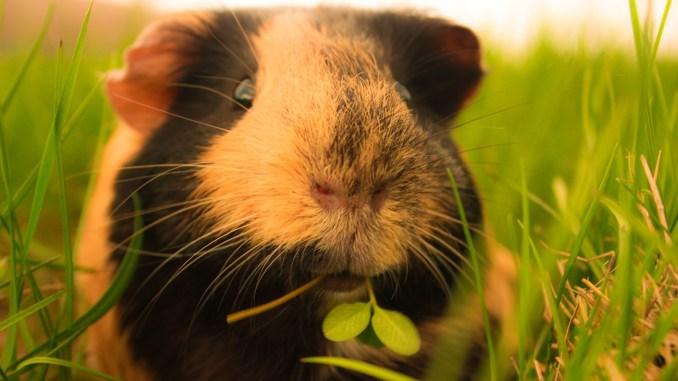 Listado de Nombres para Cobayos y Hamsters