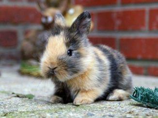 Qué Pueden Comer los Conejos Enanos