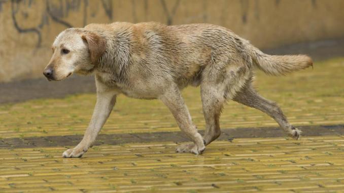 Cómo Tratar la Sarna Canina Naturalmente