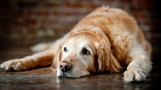 Artritis en Perros Tratamientos Naturales