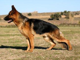 Displasia en los Perros - Síntomas y Tratamientos