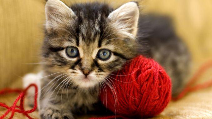 razas de gatos pequeños que no crecen