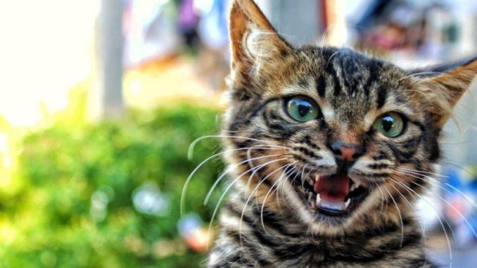 Síntomas de la Rabia en Gatos