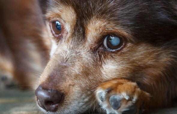Qué es el Glaucoma y Cómo se Manifiesta en Perros y Gatos