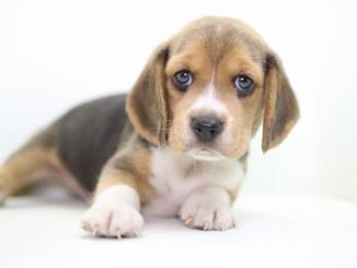 Características de la Raza Beagle