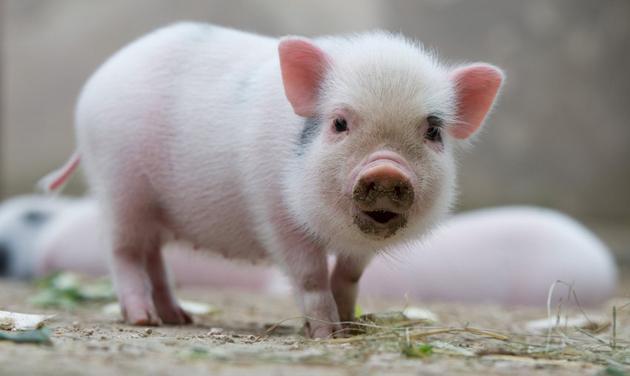 Lista de Nombres para Mini Pigs